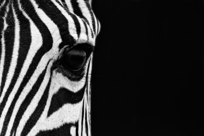 "owlghosts:  (""Zebra Eye"" by Mario Moreno)"