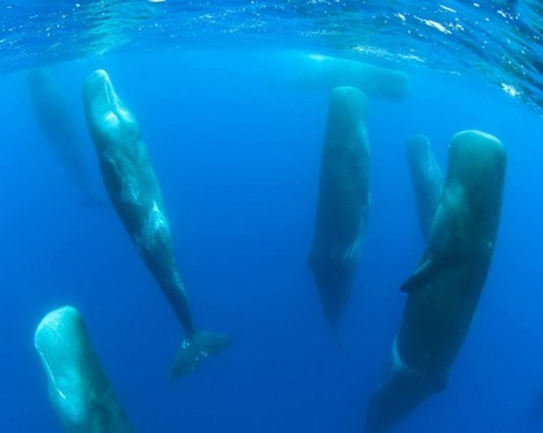 thedailywhat:  Look At These Snoozing Whales of the Day: This is how sperm whales sleep, but Matt Kaplan at Nature has the story behind this incredible shot:  A team led by Luke Rendell at the University of St Andrews [was] monitoring calls and behavior in sperm whales (Physeter macrocephalus) off the northern Chile coast when they accidentally drifted into the middle of a pod of whales hanging vertically in the water, their noses poking out of the surface. At least two of the whales were facing the boat, but not a single animal responded. It was actually pretty scary. The boat had drifted into the group with its engine off [while] I was below decks making acoustic recordings. Once I saw the situation I decided the best thing to do was to try and sail our way out of the group rather than turn the engine on and have them all react.  [highdefinite]