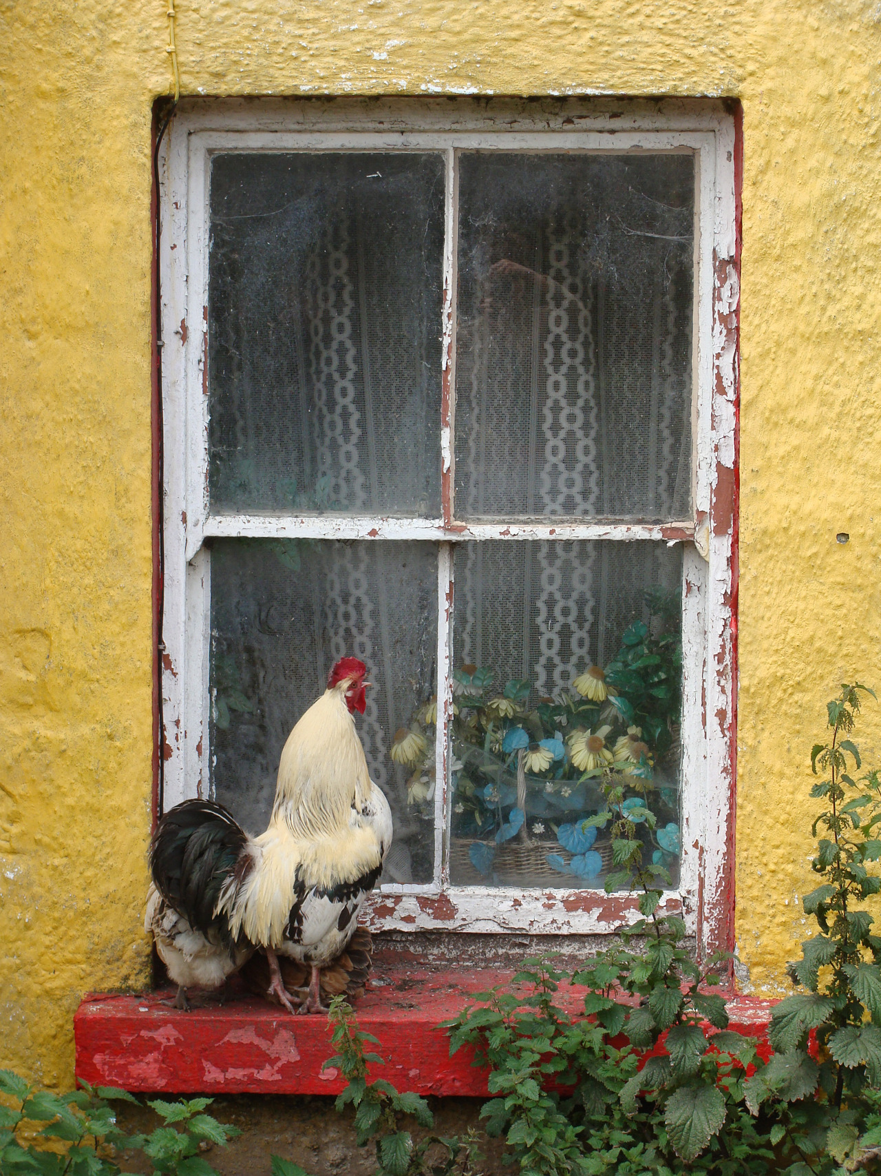Rooster at a window sill in the Aran Islands, Ireland.