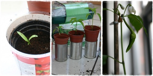 My babies are nearly all grown up! (Yes. I am referring to my chilli plants as my babies. You wait until I actually have actual babies. If I'm still blogging, you can expect an insufferable amount of photo montages.)