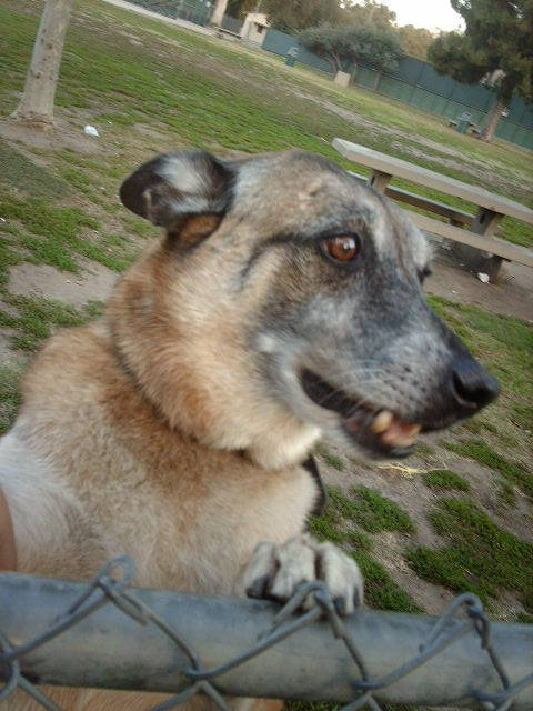 handsomedogs:  This is My Belgian Malinois Spider. He's old but still acts like a puppy.