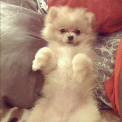 sfli650:  Look at Bebe when she was just a puppy! :) <3 #puppy #dog #pomeranian #pompom #fluffy #bebe (Taken with Instagram)
