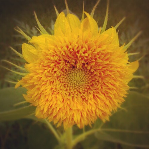 Sun flower 1 (Taken with Instagram)