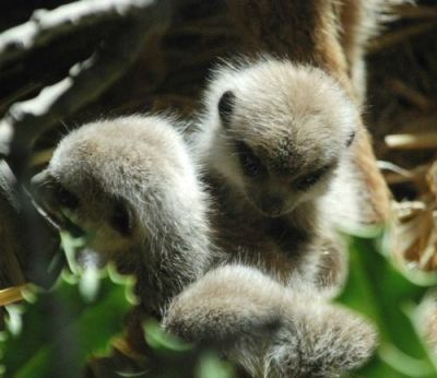 Four New Meerkat Pups a Hit at Blackpool Zoo