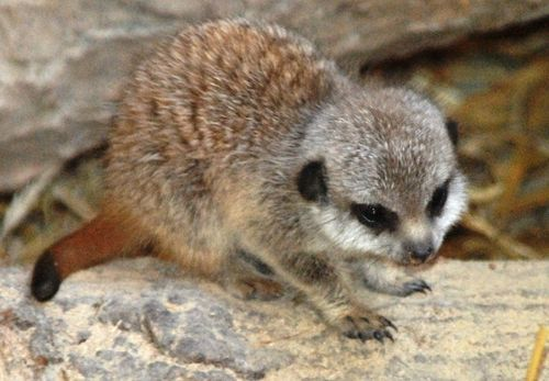theanimalblog:  Four New Meerkat Pups a Hit at Blackpool Zoo