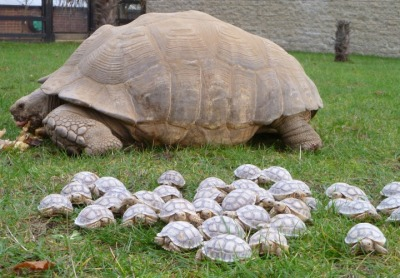 lickystickypickywe:  A creep of tortoises and their mothership.