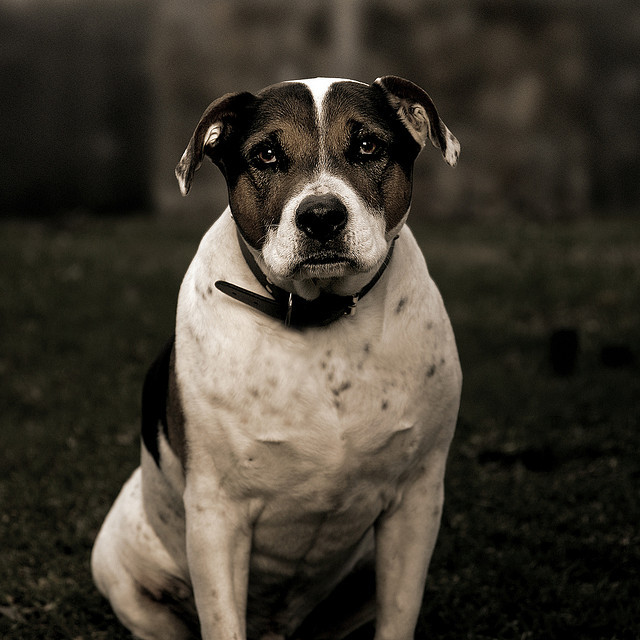 handsomedogs:  Winston - Beagle/Staffy cross (we think).  A portrait of my old dog, Winston. May he live on, through the Handsome Dogs tumblr.