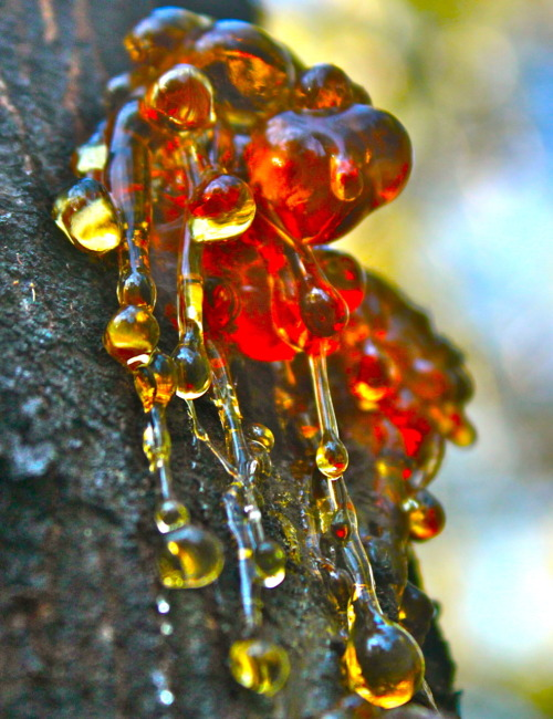 singingovertheboness:  The Beauty of Tree Sap