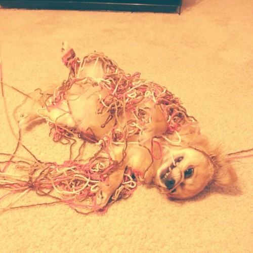 Bolita playing with yarn. 🐶🐶🐶 (Taken with Instagram)