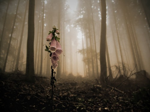fullfrontalnerdityssx:  One lonely, lovely, deadly foxglove flower  s
