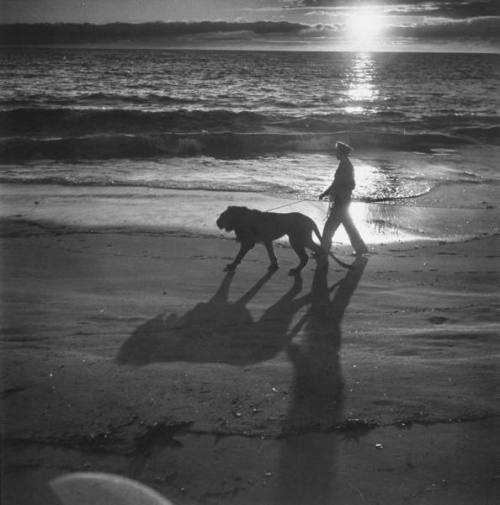 Pvt. Floyd Humeston walking pet lion Fagen on leash at beach. by Loomis Dean