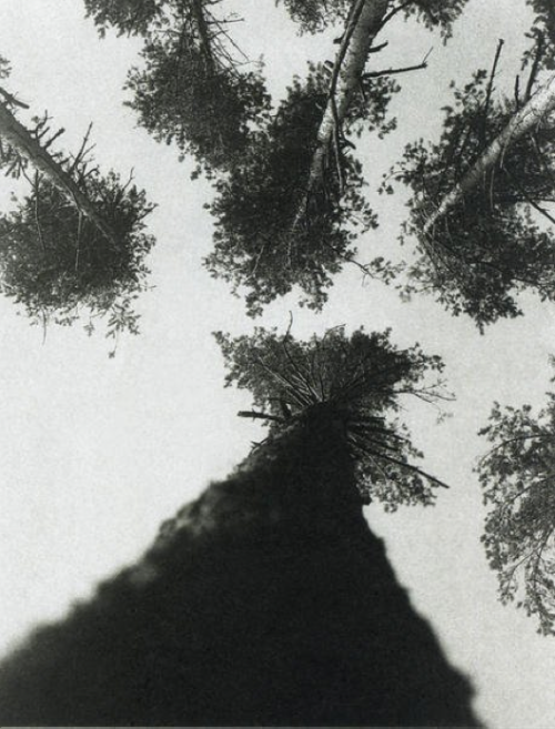 Pine Trees in Pushkin Park, 1927. Photo by Aleksandr Rodchenko.