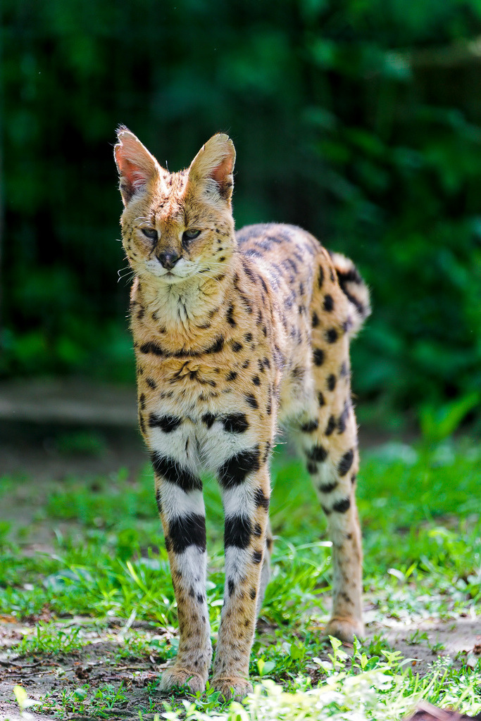 llbwwb:  Serval standing up (by Tambako the Jaguar)  This animal frightens and intrigues me.