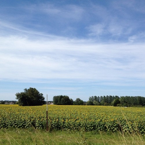 #sunflower fields #tours #france #summer #travel #loire (Taken with Instagram)