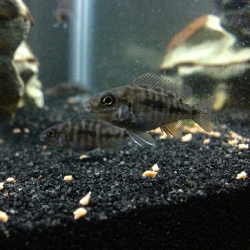 Little Bigguns… #fishtank #mytank #freshwatertank #fish #fisch #aquatic #thelifeaquatic #freshwater #freshwaterfish #tropical #aquaria #Aquarium #communitytank #instafish #fishhub #fishgeek #underwaterworld #aquascape #cichlids #waterworld #underwater #ciclidtank #growouttank #fry #mystery #haplochromis #peacock  (Taken with Instagram)