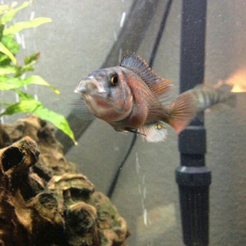 Are you talking to me? #fishtank #mytank #freshwatertank #fish #fisch #aquatic #thelifeaquatic #freshwater #freshwaterfish #tropical #aquaria #Aquarium #communitytank #instafish #fishhub #fishgeek #underwaterworld #aquascape #cichlids #waterworld #underwater #ciclidtank #growouttank #haplochromis #crimsontide #noeffect  (Taken with Instagram)