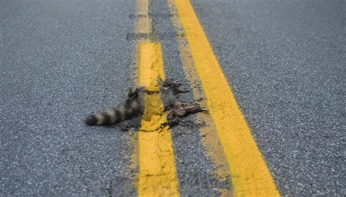 Pennsylvania road crew paints yellow line over dead raccoon (Photo: Sean Mcafee / AP)  While repainting traffic lines, road crews in Pennsylvania inadvertently laid a fresh coat of yellow paint over an unforeseen obstruction. A dead raccoon, seen by motorists earlier this week, was caught beneath the paint gun of the crew's vehicle. Read the complete story.