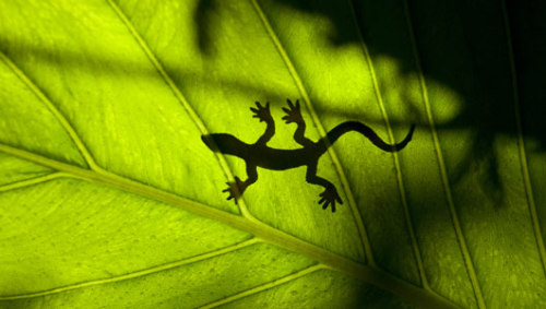 mothernaturenetwork:  Geckos' famous adhesive feet don't work when they're wetThe sticky lizards have trouble clinging to glass surfaces when their feet are wet, and now scientists want to know how they handle their natural environments.