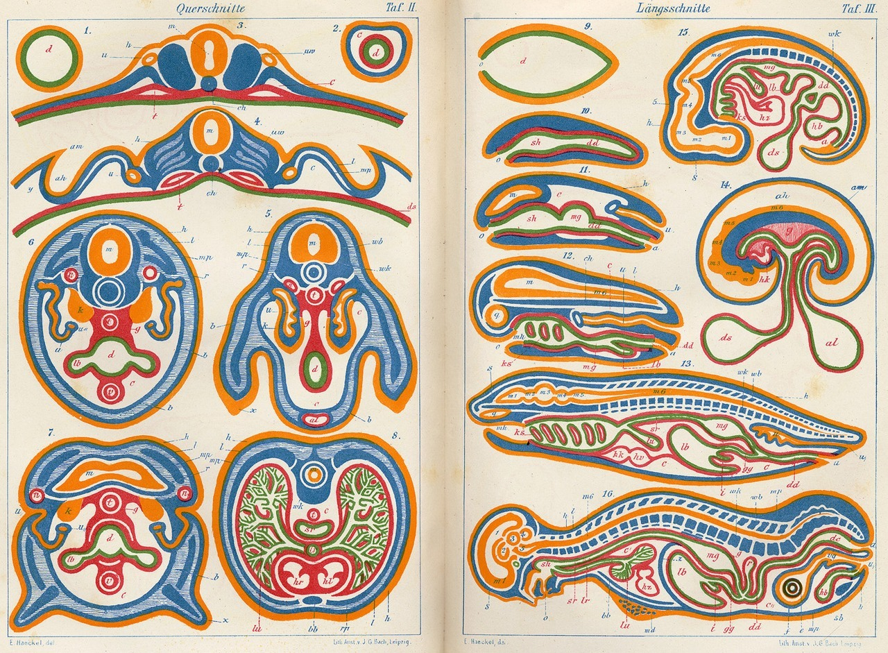 freakyfauna:  Anthropogenie. Comparisons between cross-sections of different animals and their embryos at different stages of development. From Anthropogenie, oder, Entwickelungsgeschichte des Menschen I  [The evolution of man : a popular exposition of the principal points of human ontogeny and phylogeny vol. I] by Ernst Haeckel. Leipzig: W. Engelmann. 1874. Found here.  English books availables on BHL