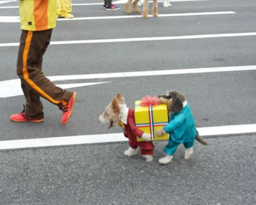 sexymachine:  antiocial:   If you've seen a better picture of a dog dressed as two dogs carrying a present today, I don't believe you.   *If you saw  AntiOcial: Official grammar nazi of tumblr  *if you seent it