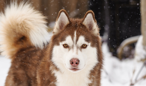 giant red alaskan malamute wolf page 2 pics about space
