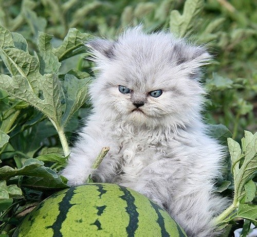 bunnyfood:  Grumpy Kitten     aka me in the morning