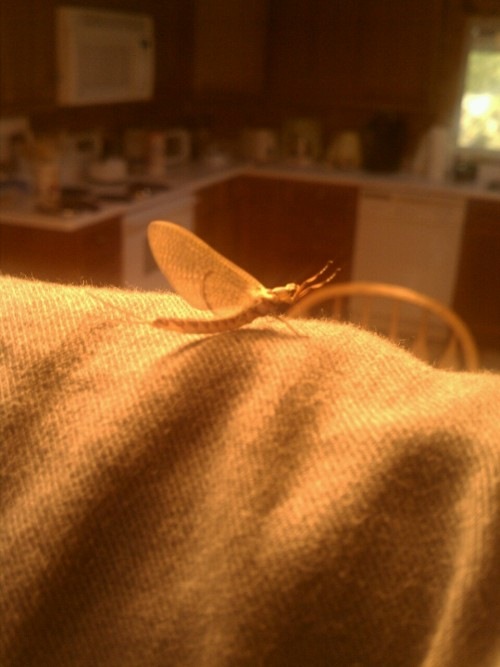 Hello, large mayfly.