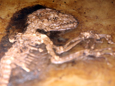 "Is the Ida fossil the missing link? On May 19, 2009, researchers held a press conference at the American Museum of Natural History. From behind a podium bearing the slogan ""The Link: This Changes Everything,"" speakers talked about a fossil known as Ida. The fossil, they explained, was an amazing find that would change our understanding of evolution. In video clips released as part of the media package, Richard Attenborough said, ""Now people can say, 'You say we're primates, like monkeys and apes, and that we came from very simple, generalized mammals. Show us the link.' The link … until now, is missing. Well, it is no longer missing."" Within hours, the mainstream media and the blogosphere were abuzz with the news about Ida (pronounced EE-dah). ""Scientists find the missing link,"" declared a headline at the Daily Mail online. But almost immediately, the dust started to settle. Journalists and scientists had a chance to read the academic paper describing the find, published in the journal PLoS ONE on the day of the announcement. Headlines did a 180 over the next couple of days: One, in Time, read, ""Ida: Humankind's Earliest Ancestor! (Not Really)."" The original paper, ""Complete Primate Skeleton from the Middle Eocene of Messel in Germany,"" contains no reference to a creature called Ida. Instead, it describes a 47-million-year-old fossil of an animal dubbed Darwinius masillae. Collectors excavated the fossil in 1983, split it into two pieces — the fossil known as Ida and its mirror image — and sold them separately. At the time, the two halves were identified as a different animal and weren't hailed as particularly important. But almost 20 years later, Dr. Jorn Hurum rediscovered the more complete half of the fossil through an unnamed collector. He shelled out $750,000 to purchase it for the Natural History Museum of the University of Oslo [source: Devlin]. Hurum assembled a team of researchers to analyze the find. The media bonanza that declared it the missing link came after two years of work on the specimen. But the idea that Ida is the missing link has more to do with the news coverage surrounding the fossil than the research itself. Without ever using the term, the paper does describe the fossil as a missing link — a fossil that has traits from two different types of animals and may form an evolutionary link between them, of which there are many. It doesn't, however, present the fossil as ""the missing link"" — a direct bridge between humans and early primate ancestors. If Ida isn't the missing link, what is it?"