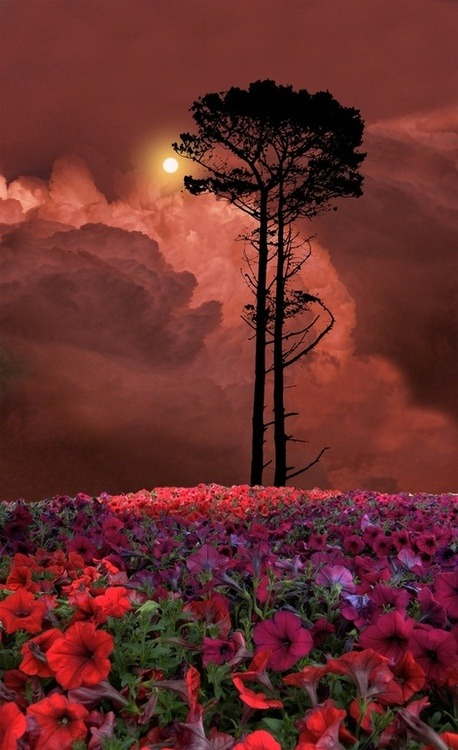 bluepueblo:  Flowered Sunset, Skagit, Washington photo via sarah