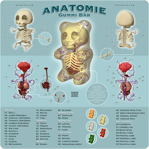 ilovecharts:  Anatomy of a Gummy Bear from Jason Freeny  this makes me want to be a doctor even more ;D