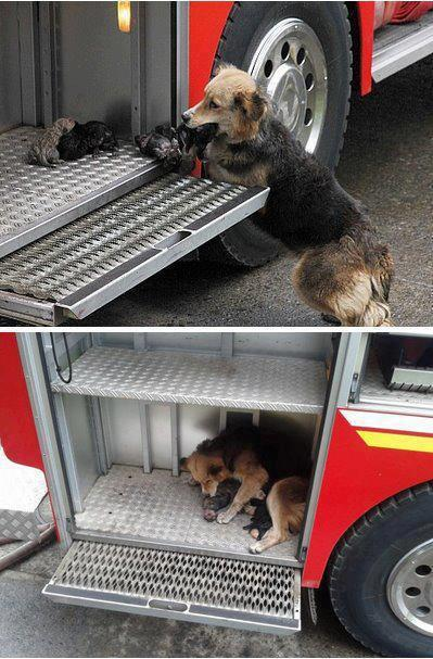 Dog saves all her puppies from a house fire, and puts them to safety in one of the firetrucks