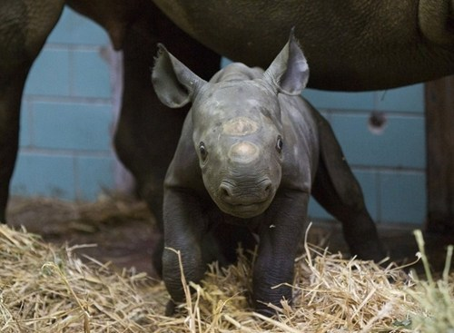 thedailywhat:  OMG! Adorbz of the Day: Akili the black rhino is four days old, weighs in at 65 pounds, and kinda looks like Sarah the triceratops in The Land Before Time — what's not to love? [buzzfeed]  dying.