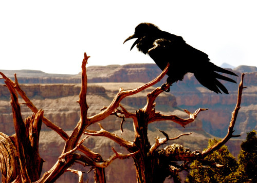 julieannryan:  Black Bird in the Grand Canyon