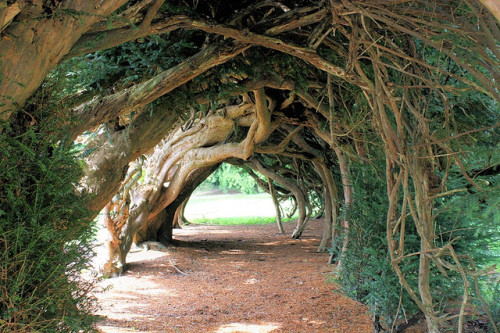 Aberglasney Yew Tunnel by Kev Bailey on Flickr.