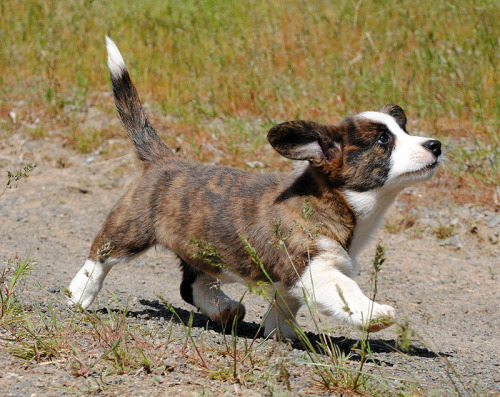Corgi (action) puppy Friday!!! One of my favorite girls in the world - Miss Dezi. She belongs to a dear friend of mine, and wow, she's all attitude and all showgirl! So, so cute!