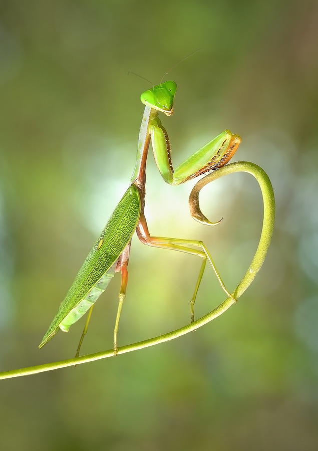 "end0skeletal:  (via 500px / Photo ""Hot Pose of Mantis"" by Irfan Marindra)"