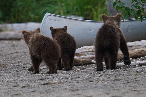 redwingjohnny:  Milkshake's cubs by RangerRoy on Flickr.