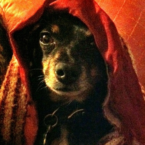 Rico Suave as the Prince of Persia #dog (Taken with Instagram)
