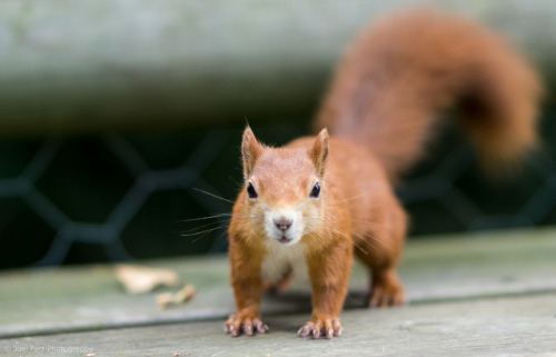 Follow Me! It's time for Animal Hour:) Red Squirrel - Sciurus vulgaris (by Joel Parr Photography)