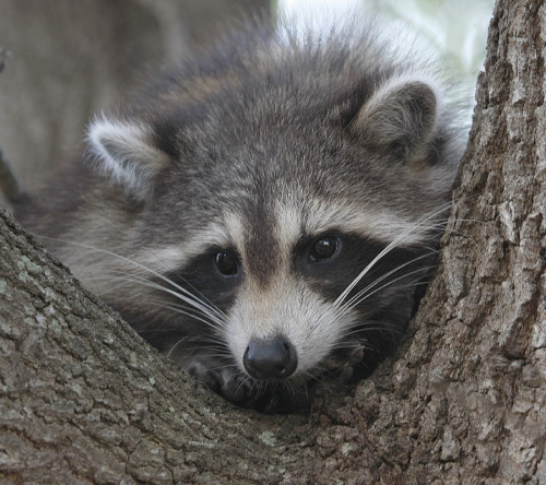 llbwwb:  Raccoon Baby (by Larry Frogge Photography)