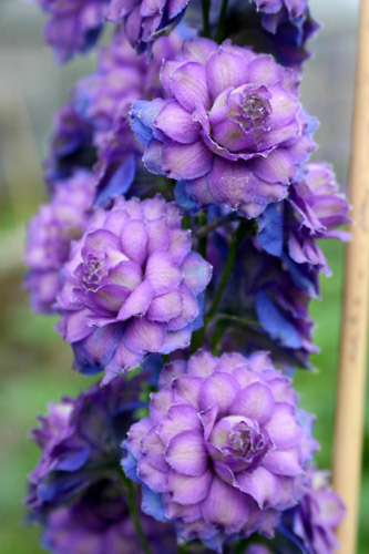 Delphinium Highlander™Series hybrid 'Sweet Sensation'