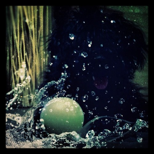 Booboo poses with her glow in the dark rubber ball #schnoodle#puppy#love#petstagram#instagrumhub (Taken with Instagram)