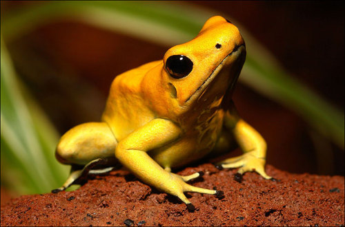 earthlynation:  Golden Poison Dart Frog by Source