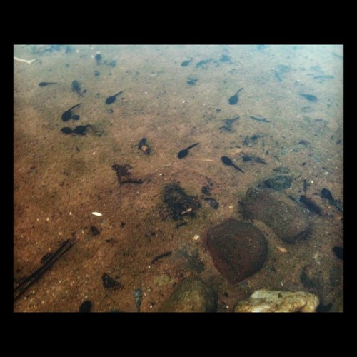 there was hundreds of lil tadpoles in the stream!   So amazing! (Taken with Instagram)