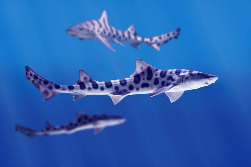 earthlynation:  Leopard Sharks by LaJollaKayak