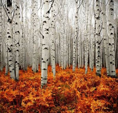 Zebra Legs Forest Getting Lost in Aspen Forest by Chad Galloway