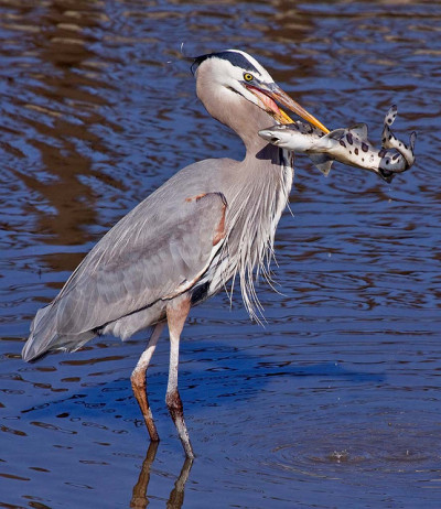 bonedust:  fairy-wren:  Great Blue Heron and Leopard shark