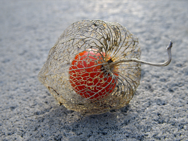 Life within death. Physalis alkekengi, or the Chinese/Japanese Lantern, blooms during Winter and dries during Spring. Once it is dried, the bright red fruit is seen. The outer cover is a thin mesh that held the flower petals, seen in golden brown colour. (via jonnovstheinternet)