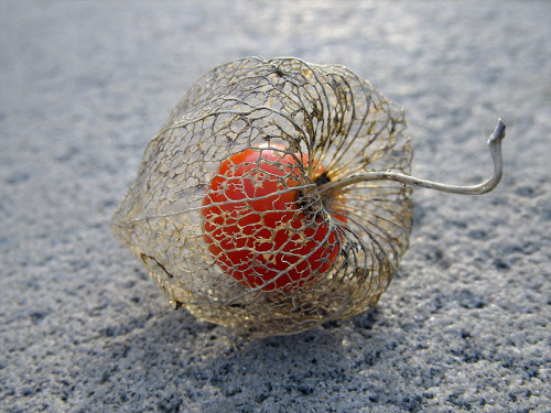 Life within death. Physalis alkekengi, or the Chinese/Japanese Lantern, blooms during Winter and dries during Spring. Once it is dried, the bright red fruit is seen. The outer cover is a thin mesh that held the flower petals, seen in golden brown colour.