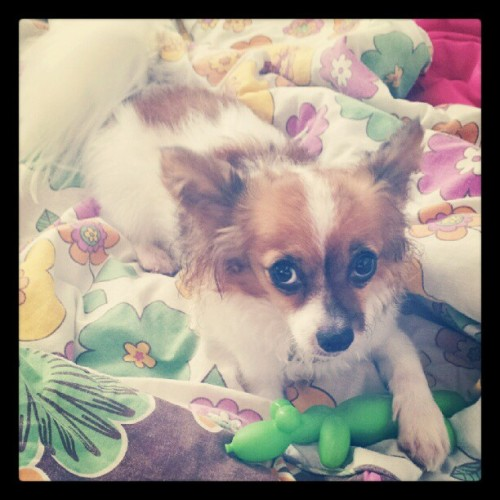 #Loppy #Sweet #Toy #Dog #Pet #Papillon #PuertoRico  (Taken with Instagram)